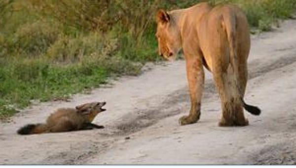 To, co zrobiła lwica na widok rannego lisa, jest niewiarygodne!