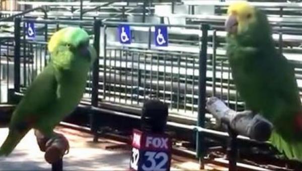 Reporter miał przeprowadzić wywiad... z papugami. Chyba nie był przygotowany...