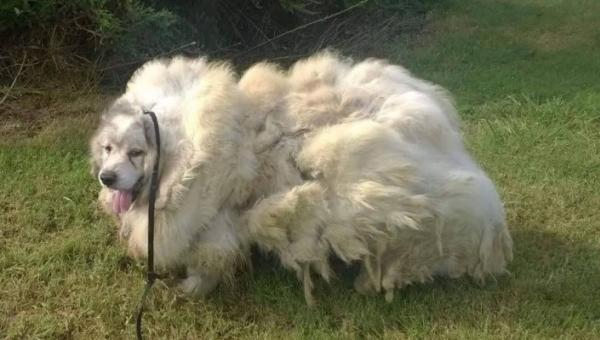 Za drzwiami stodoły znaleźli przerażonego psa, gdy zgolili z niego 15 kg...