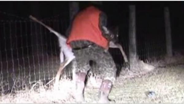Myśliwy podchodzi do jelenia, który zaplątał się w ogrodzeniu, to co zrobił...