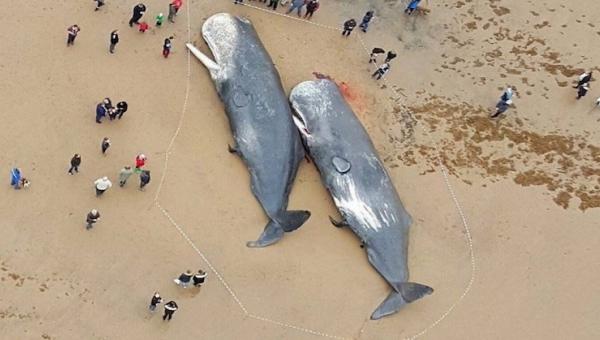 Aż ciężko uwierzyć co badacze znaleźli w żołądkach tych wielorybów. Szokujące!