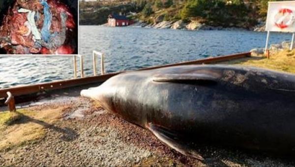 To co znaleziono w żołądku tego wieloryba jest odrażające!