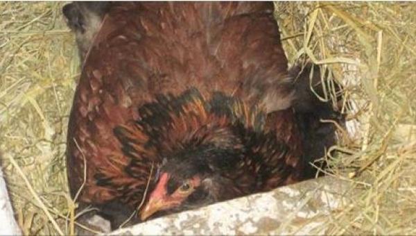 Rolnik był przekonany, że kura wysiaduje jajka - kiedy podszedł bliżej nie...