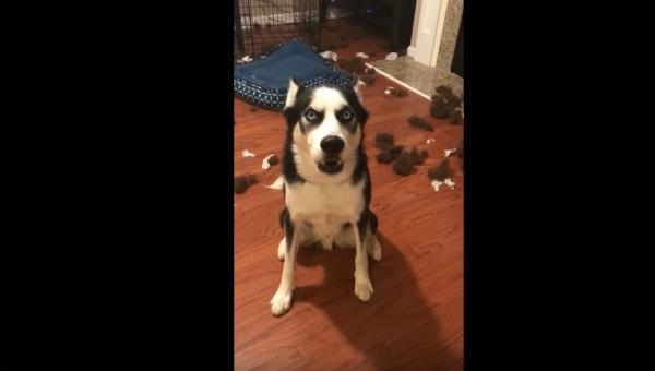 Właścicielka złapała go na niszczeniu poduszek. Jego reakcja ubawi Was do łez!
