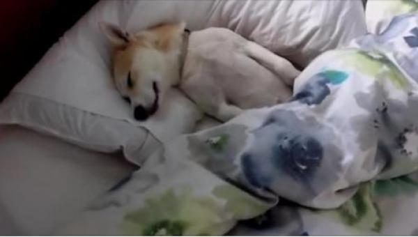Pies tak nie chciał iść do weterynarza, że udawał, że śpi. Jego właścicielka...