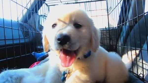 Rok z życia Golden Retrievera - od szczeniaka do młodego psa. Musicie to...