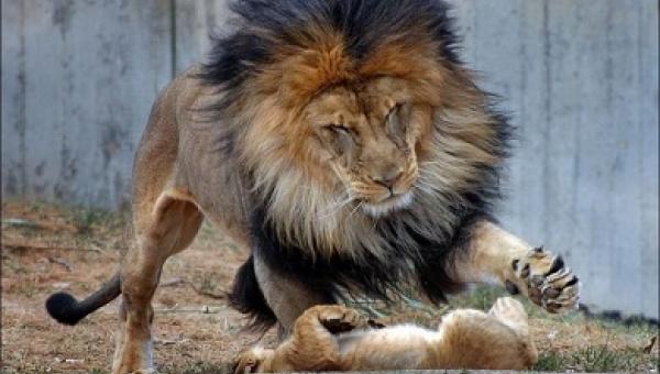 To, co stało się na sekundę przed tym, jak lew chciał mu wymierzyć karę, jest...