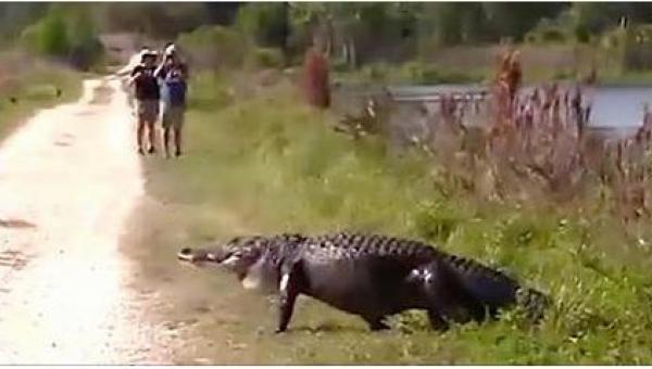 To, że nagrali aligatora to jedna rzecz. Zobaczcie, co jeszcze uchwycili i......