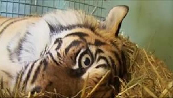 Gdy tygrysica urodziła, wszyscy pracownicy zoo zamarli. Wciąż czekali na coś...