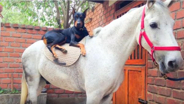 Ten doberman i koń są najlepszymi przyjaciółmi - musicie to zobaczyć!