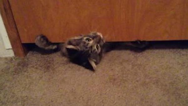Gruby kot próbuje przecisnąć się pod drzwiami - nie możemy przestać się śmiać!