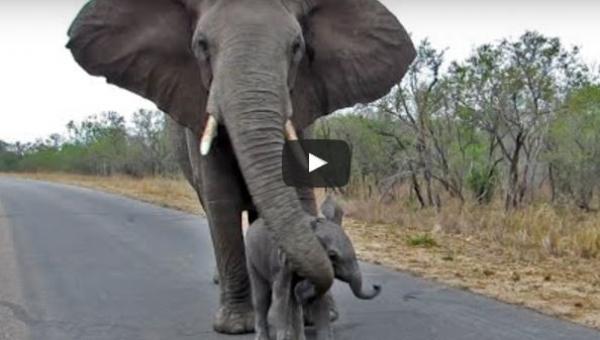 Mama chroni słoniątko, które chce się przywitać z ludźmi - uroczy widok!