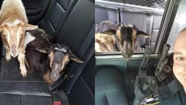 Policjant dostał wezwanie o kozach w garażu... Po czym spędził z nimi cały...