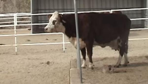 Musicie zobaczyć reakcję tej krowy gdy zrozumiała co przywiozła ciężarówka....