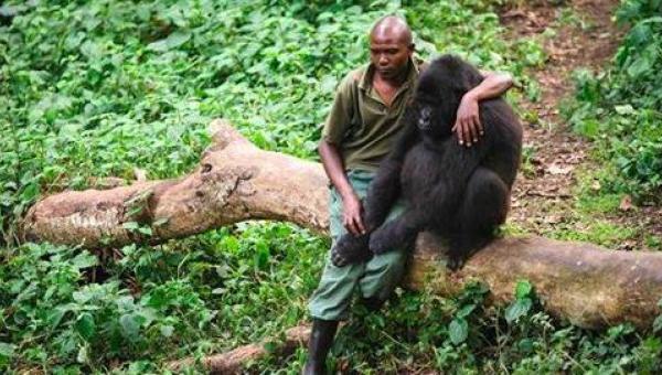 Pracownik parku zbliża się do załamanego goryla, który stracił matkę - jego...