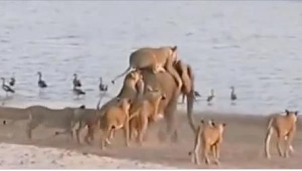 14 lwic zaatakowało zwierzę ważące 6000 kilogramów. To, co się stało, kiedy...