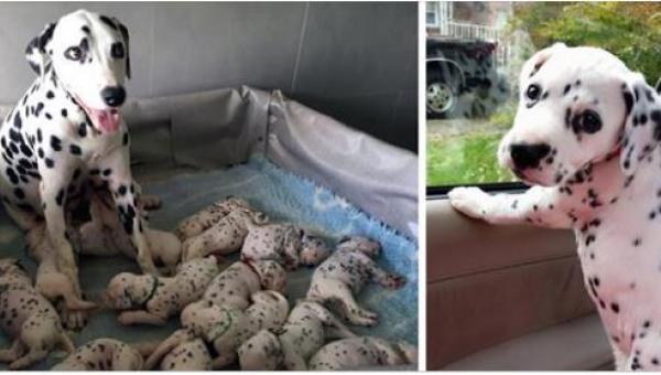 Sunia dalmatyńczyka urodziła aż 18 szczeniąt, ale to ostatni jest wyjątkowy...