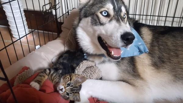 Kocię pomogło nerwowemu huskiemu uspokoić się. Musicie zobaczyć to wspaniałe...