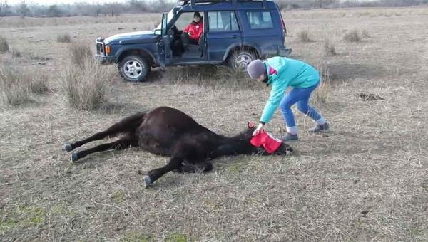 Mężczyzna uwalnia skutego konia. Reakcja zwierzęcia podbiła serca internautów...