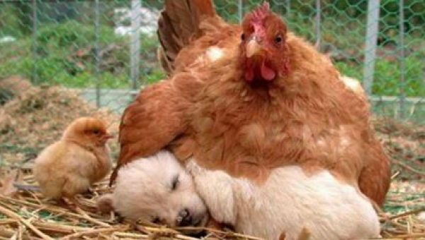 9 zdjęć, które udowadniają, że kury są najlepszymi matkami w królestwie zwierząt