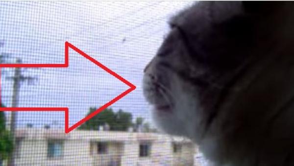 Ten kot myśli, że jest kogutem. Nie możecie przegapić tego nagrania!