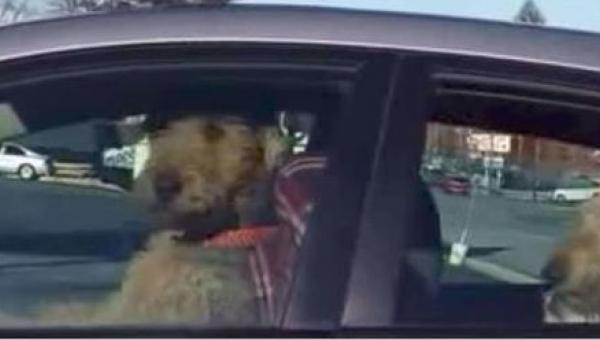 To, co ten pies robi w samochodzie pod nieobecność właściciela, ubawi Was do...