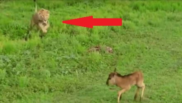 Lew zbliża się do przerażonego jelonka i... To nagranie zaszokowało ekspertów!