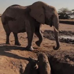 Słonica nie wie jak pomóc maluchowi który utknął w dziurze, zobacz co się stało