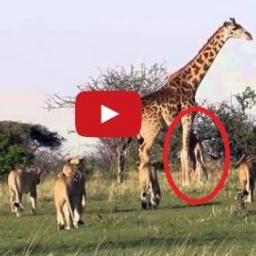Stado wygłodniałych lwów chciało zaatakować żyrafę i jej młode. Wtedy stało się