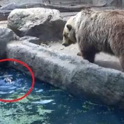 Nie uwierzysz co ten niedźwiedź zaraz zrobi z topiący się ptakiem