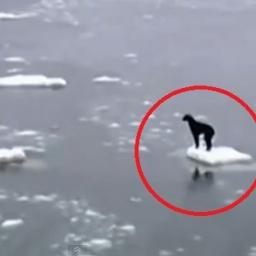 Pies utknął na dryfującym lodzie. To co stało się potem bardzo wzrusza