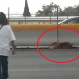Ranny pies leżał pośrodku autostrady, wtedy ta kobieta zrobiła coś niesamowitego