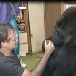 Robin Williams spotkał goryla mówiącego w języku migowym. Niesamowite jak wygląd