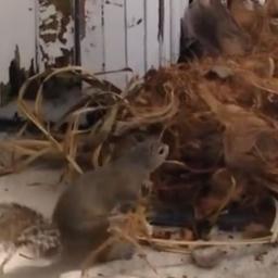 Mama wiewiórka zobaczyła, że gniazdo z jej trzema młodymi leży na ziemi, wtedy z