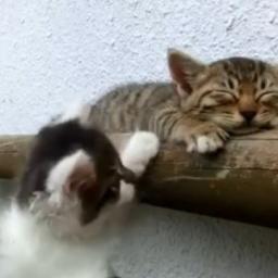 Kotek zrobił sobie drzemkę, jednak jego kolega zrobi wszystko by go obudzić