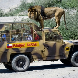 Lew wskoczył na samochód z turystami, jednak gdy poznasz prawdę będziesz w szoku