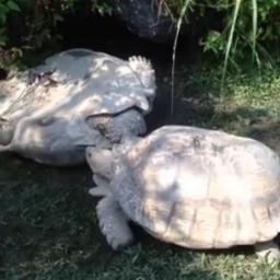 Żółw leżał przewrócony, wtedy pojawił się jego kolega i...