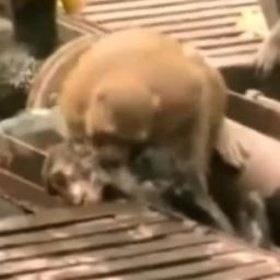 Małpa została porażona prądem i prawie umarła, wtedy stało się coś niesamowitego