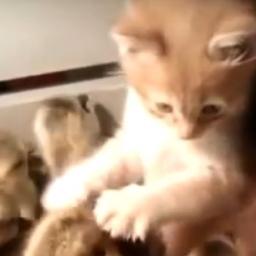 Kociak wszedł do skrzyni z malutkimi kaczuszkami, nie spodziewał się co tam znaj
