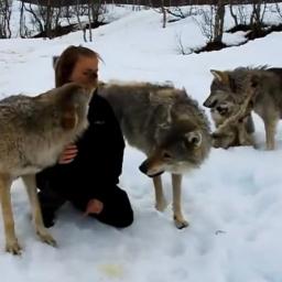 Po tym filmie powtarzaj sobie - nie wolno podchodzić do wilków! Bo będzie Cię ku