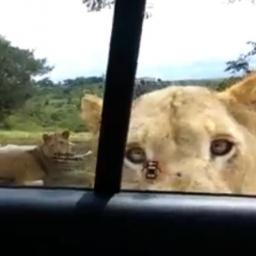 Spokojnie obserwowali dzikie lwy, gdy nagle jedno ze zwierząt zrobiło TO. Jakim
