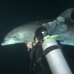 Do płetwonurka niespodziewanie zbliżył się delfin, prosząc o pomoc...