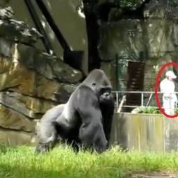 Goryl jakby nigdy nic przechadza się po wybiegu, aż tu nagle... No to nas zaskoc