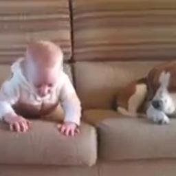 Dziecko strąca z sofy zabawkę, a na ratunek rzuca się uroczy beagle :)