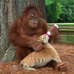 Prawdziwa miłość nie zna barier! Orangutan i trzy tygryski to najlepsi i najtros
