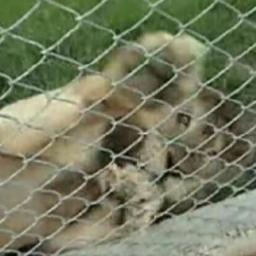 Ten lew spędził w ciasnej klatce całe swoje życie, ale w końcu odzyskał wolność.