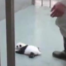 Puścili małą pandę samą do klatki. To, co stało się potem sprawiło, że cały czas