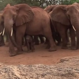 Gdy urodziła, otoczyły ją inne słonie. Gdy zobaczysz, po co to zrobiły, będziesz