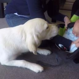 Ich pies poznaje nowego członka rodziny. Jego reakcja na widok dziecka jest bezc