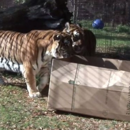 Pracownik zoo zostawił na wybiegu dla dużych kotów karton... Zgadnij, co zrobiły